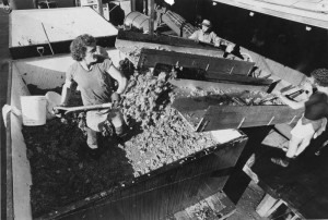 Harvest September 19 1979 at BARGETTO WINERY